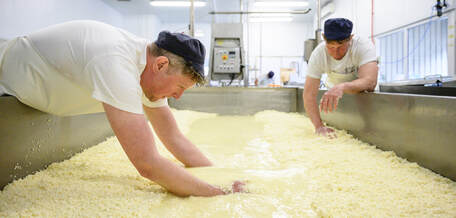 Trethowan brothers cutting curds from whey